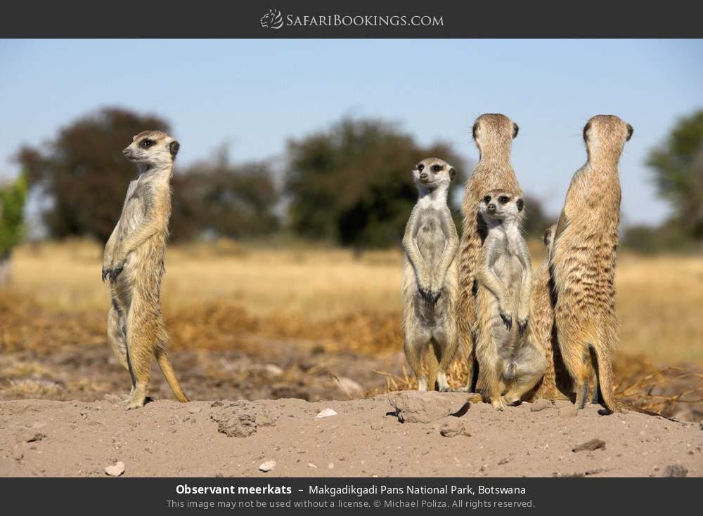 Observant meerkats in Makgadikgadi Pans National Park, Botswana