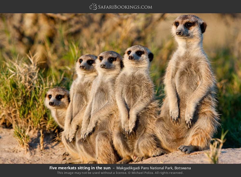 Five meerkats sitting in the sun in Makgadikgadi Pans National Park, Botswana