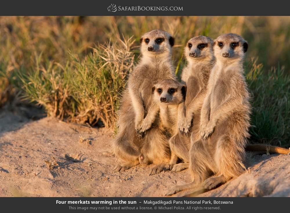 Four meerkats warming in the sun in Makgadikgadi Pans National Park, Botswana