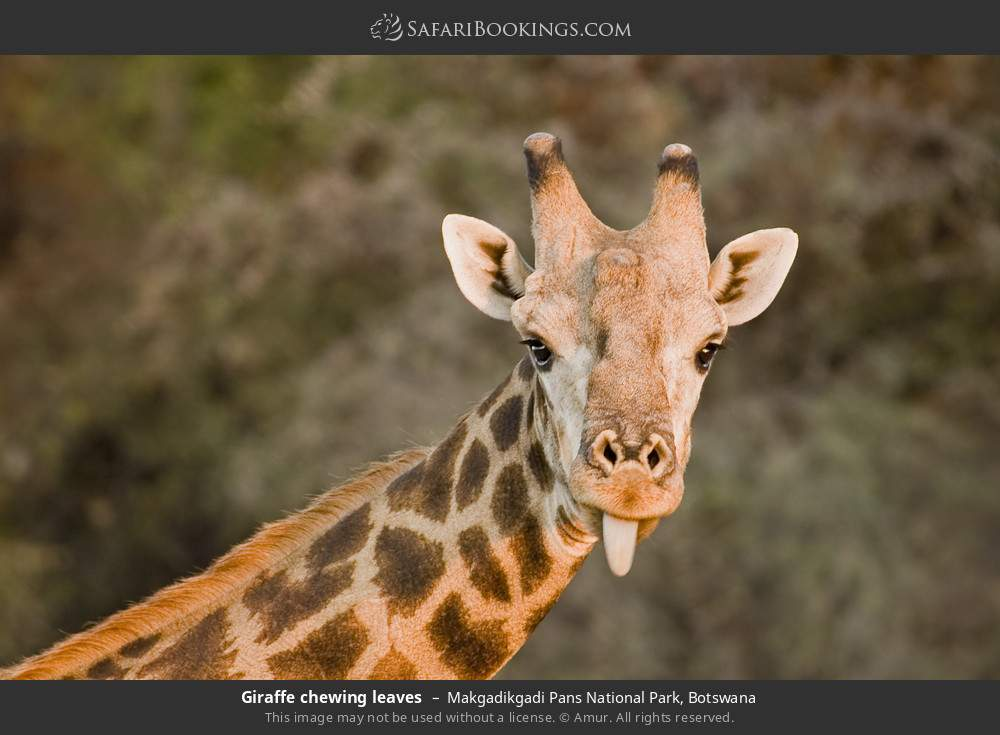 Giraffe chewing leaves in Makgadikgadi Pans National Park, Botswana