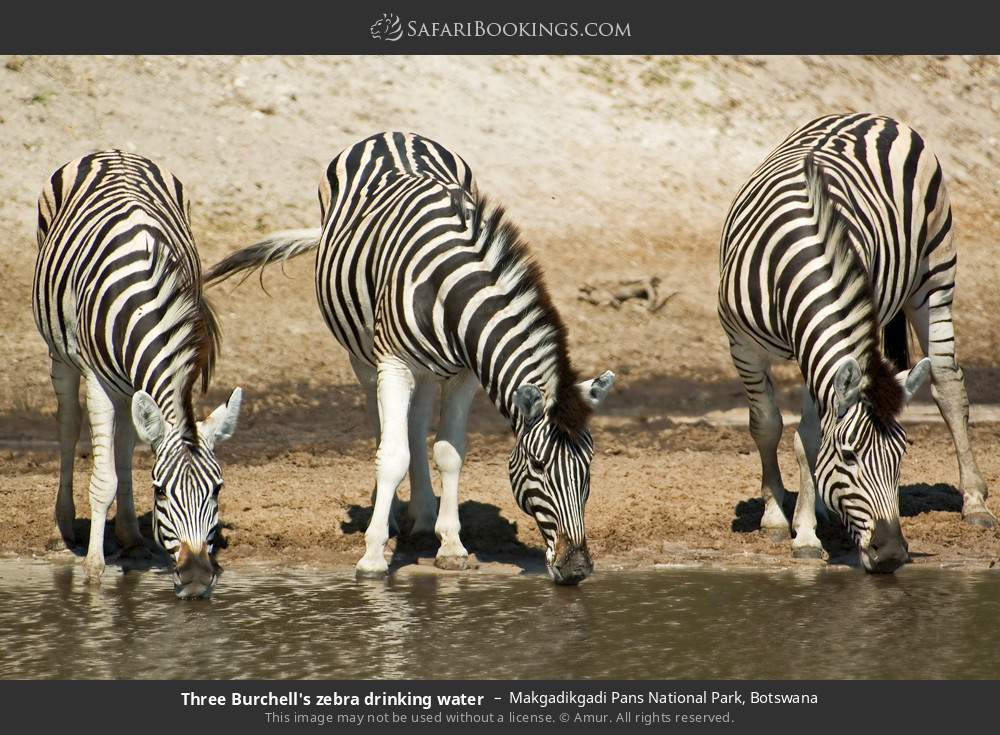 Three Burchell's zebra drinking water in Makgadikgadi Pans National Park, Botswana