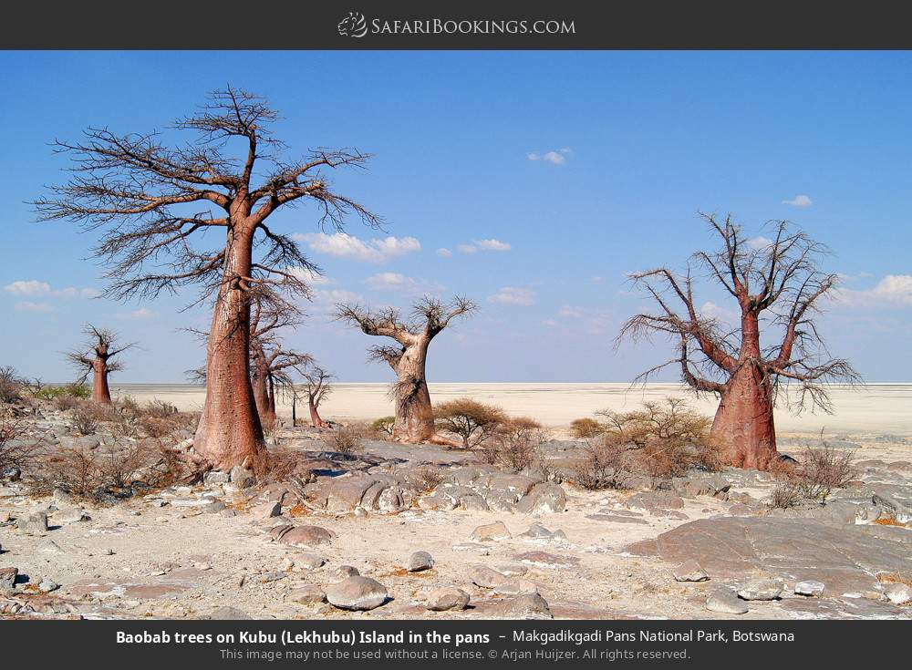 Baobab trees on Kubu Island in the pans in Makgadikgadi Pans National Park, Botswana