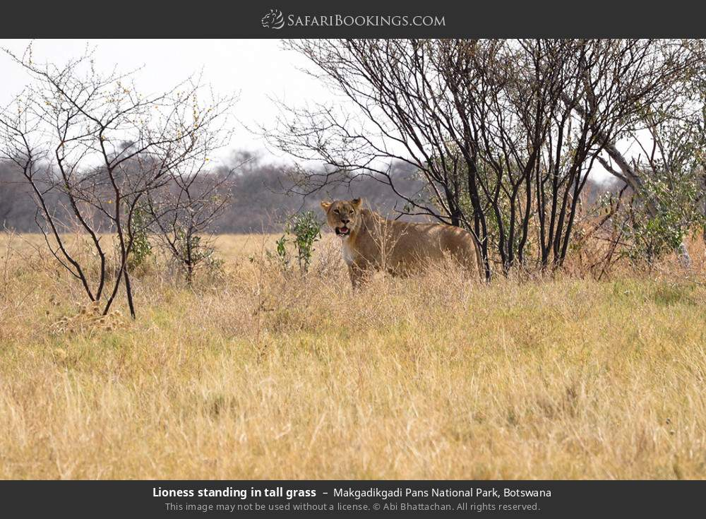 Lioness standing in tall grass in Makgadikgadi Pans National Park, Botswana