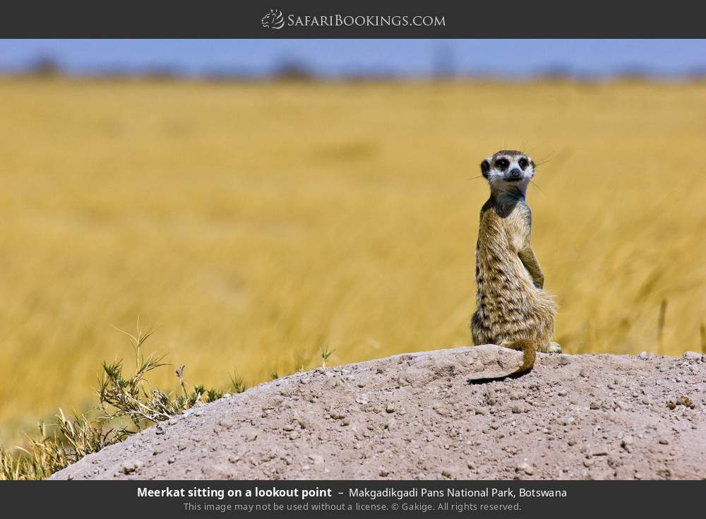 Meerkat sitting on a lookout point in Makgadikgadi Pans National Park, Botswana