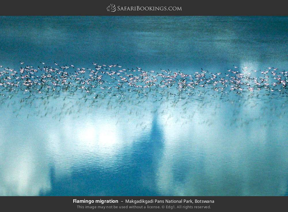 Flamingo migration in Makgadikgadi Pans National Park, Botswana