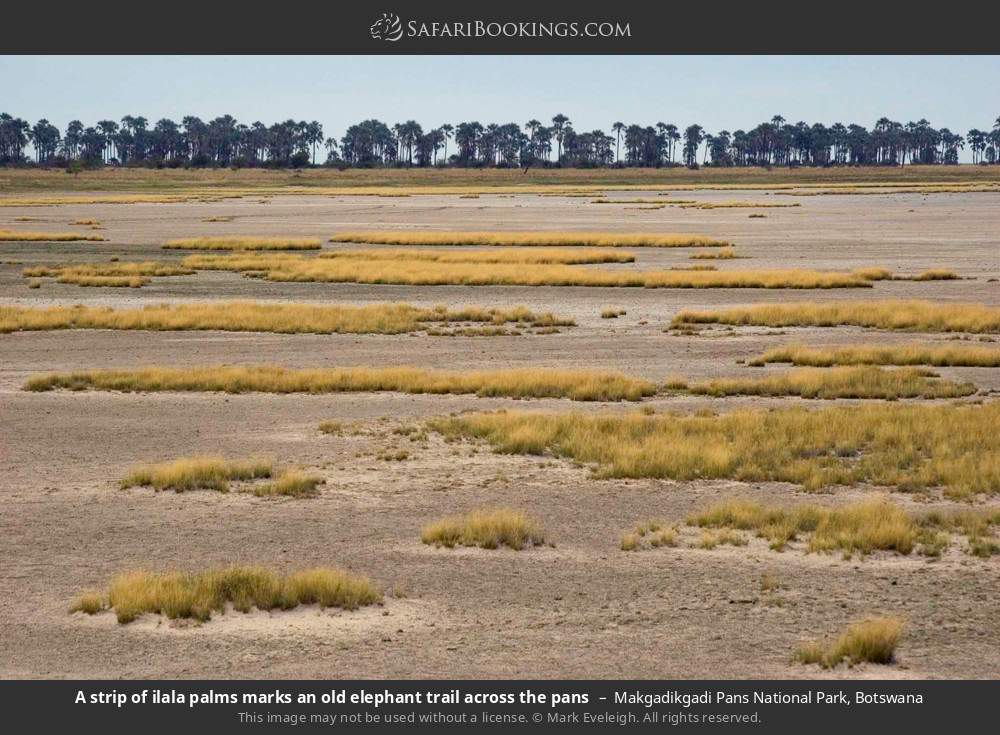 A strip of Ilala Palms marks an old elephant trail across the pans in Makgadikgadi Pans National Park, Botswana