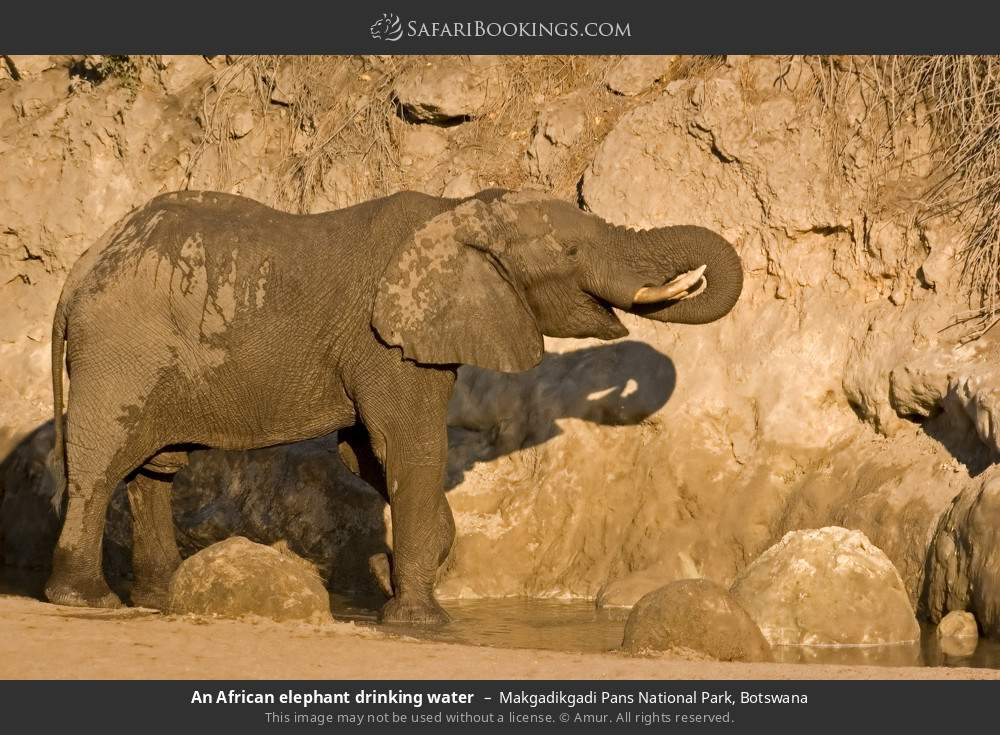 An African elephant drinking water in Makgadikgadi Pans National Park, Botswana