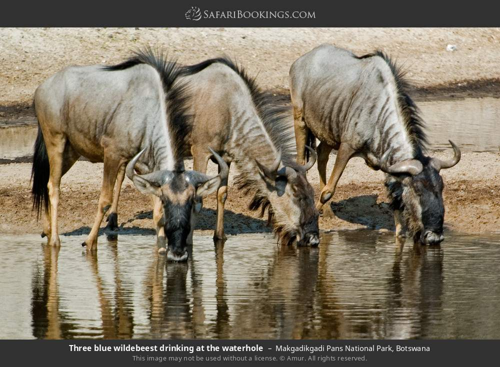 Three blue wildebeest drinking at the waterhole in Makgadikgadi Pans National Park, Botswana