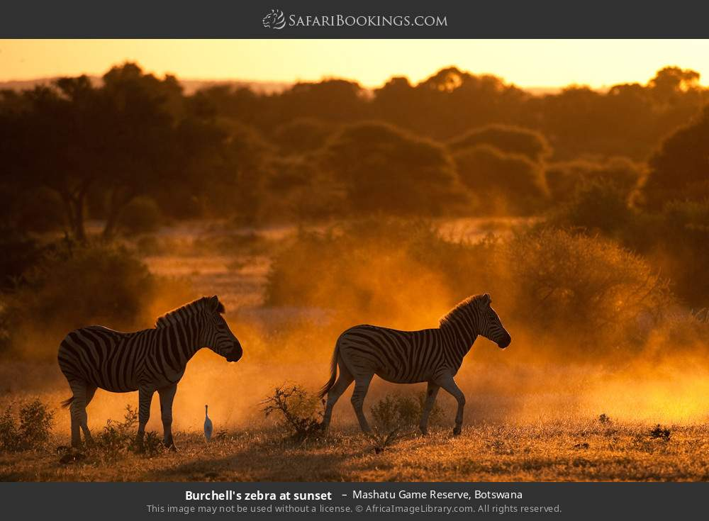 Burchell's zebra at sunset  in Mashatu Game Reserve, Botswana