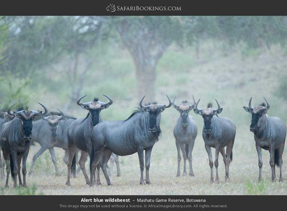 Alert blue wildebeest in Mashatu Game Reserve, Botswana