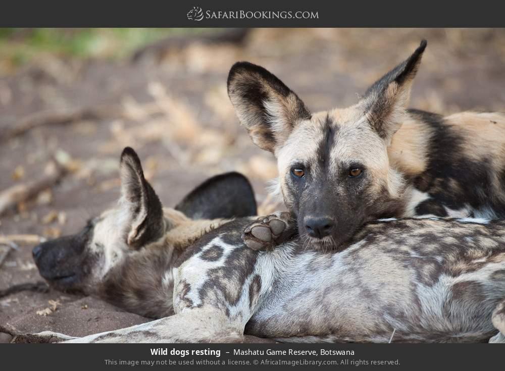 Wild dogs resting in Mashatu Game Reserve, Botswana