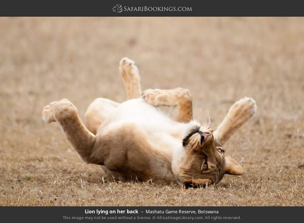 Lion lying on her back in Mashatu Game Reserve, Botswana