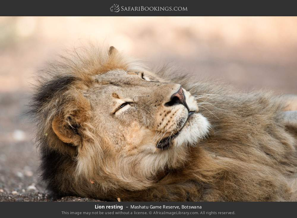 Lion resting in Mashatu Game Reserve, Botswana