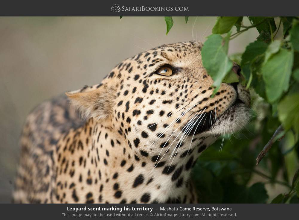 Leopard scent marking his territory in Mashatu Game Reserve, Botswana