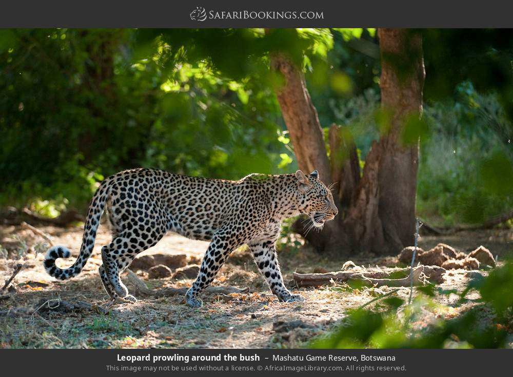 Leopard prowling around the bush in Mashatu Game Reserve, Botswana