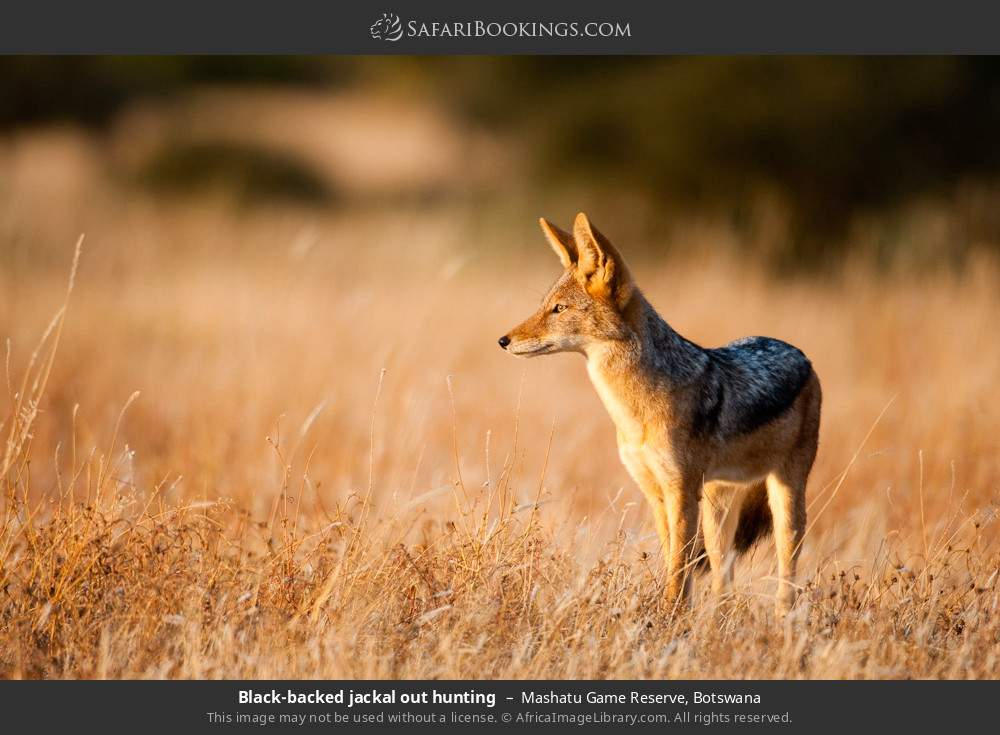 Black-backed jackal out hunting in Mashatu Game Reserve, Botswana