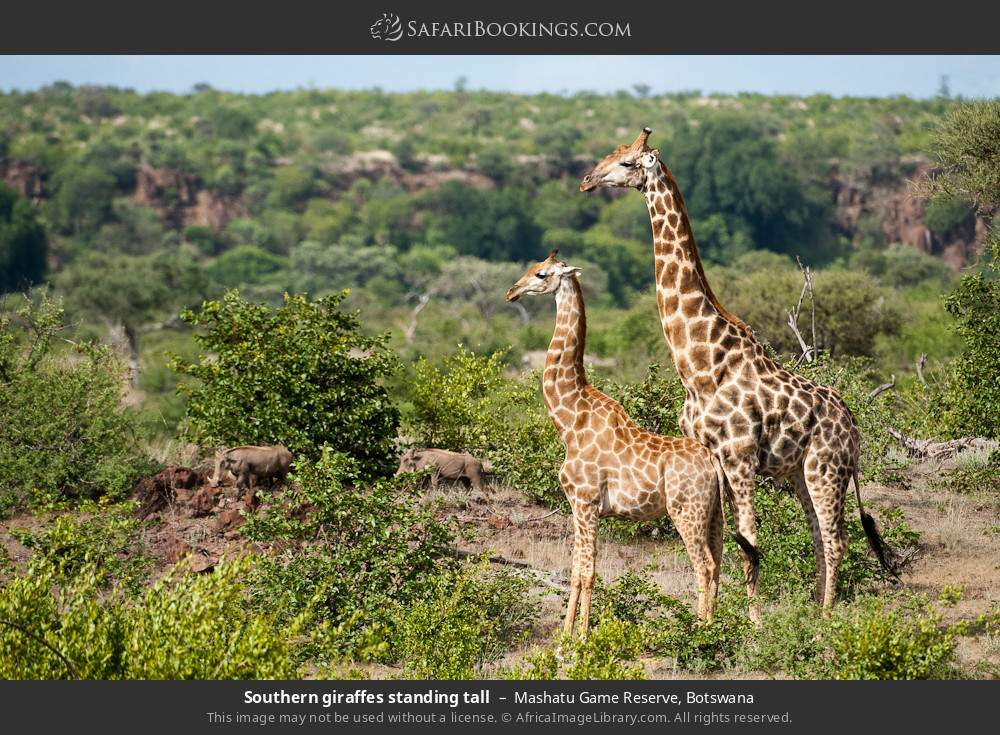 Southern giraffes standing tall in Mashatu Game Reserve, Botswana
