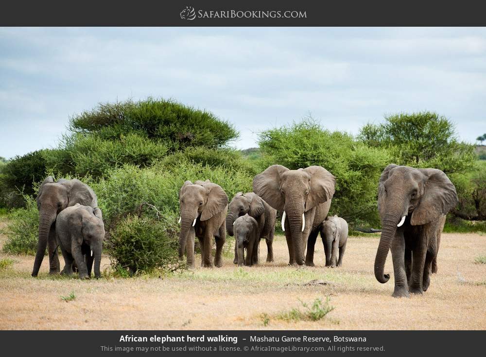 African elephant herd walking in Mashatu Game Reserve, Botswana
