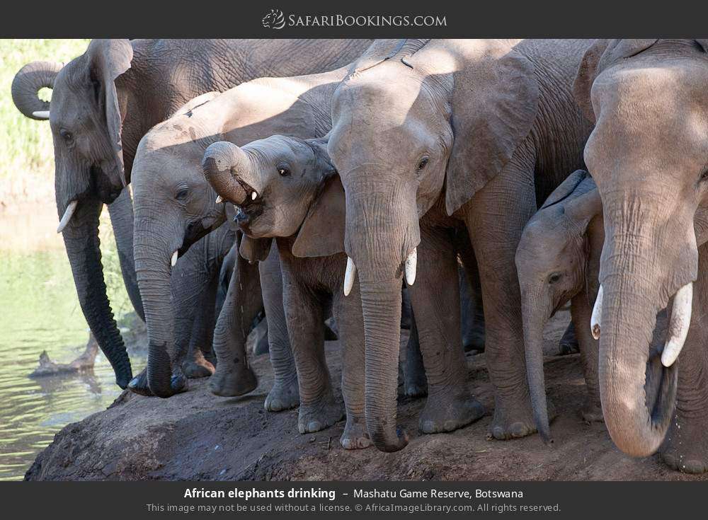 African elephants drinking in Mashatu Game Reserve, Botswana