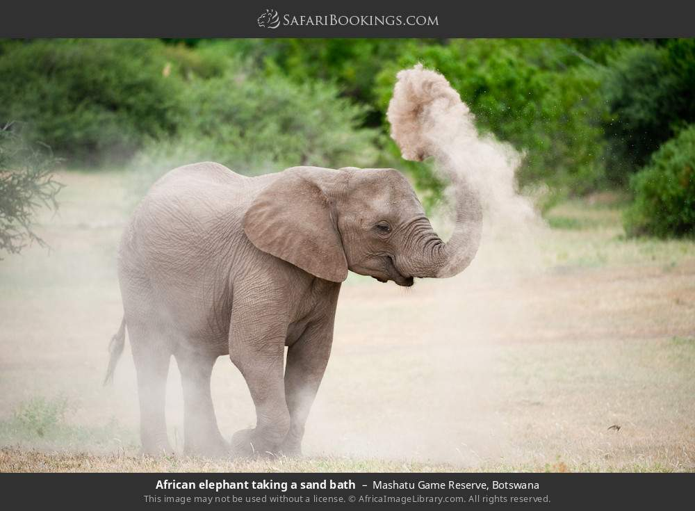 African elephant taking a sand bath in Mashatu Game Reserve, Botswana