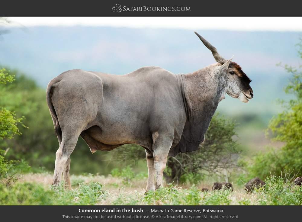 Common eland in the bush in Mashatu Game Reserve, Botswana