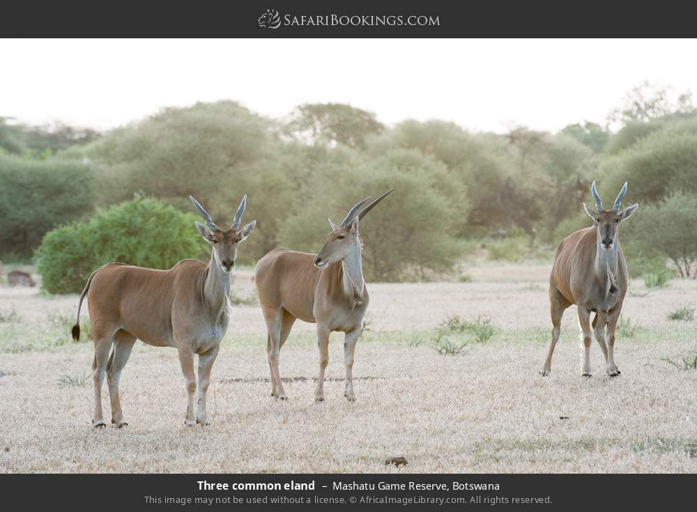Three common eland in Mashatu Game Reserve, Botswana