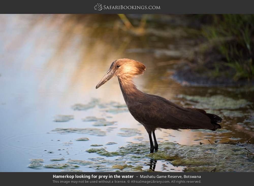 Hamerkop looking for prey in the water in Mashatu Game Reserve, Botswana