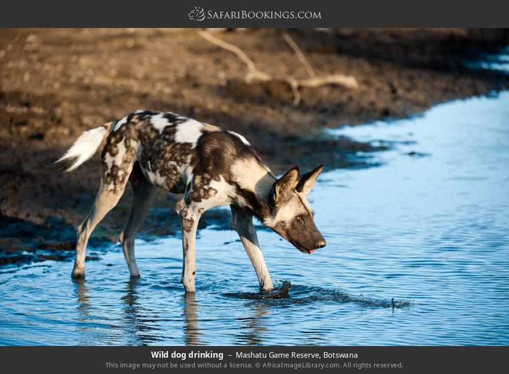 Wild dog drinking in Mashatu Game Reserve, Botswana