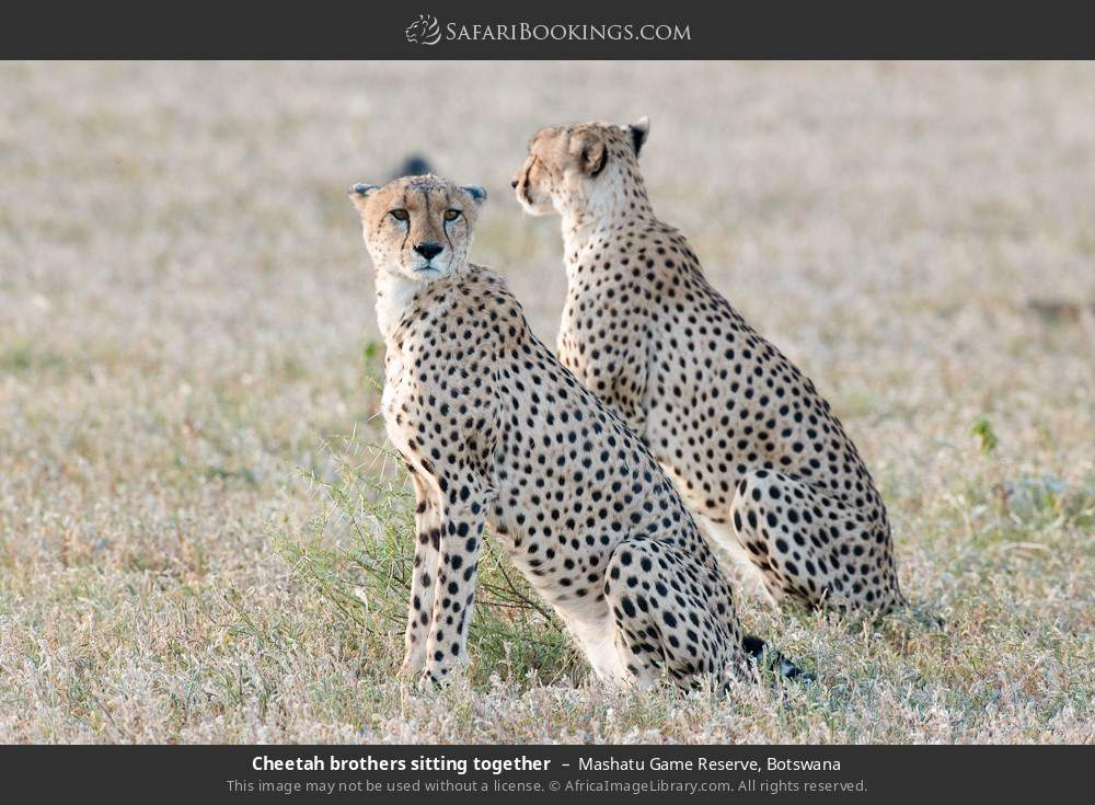 Cheetah brothers sitting together in Mashatu Game Reserve, Botswana