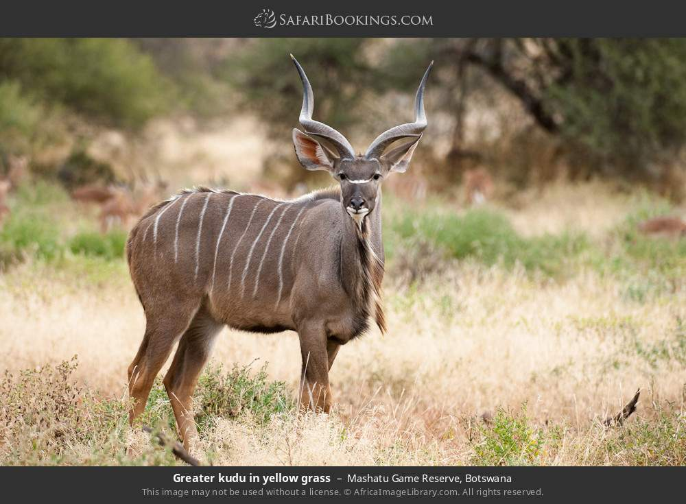 Greater kudu in yellow grass in Mashatu Game Reserve, Botswana
