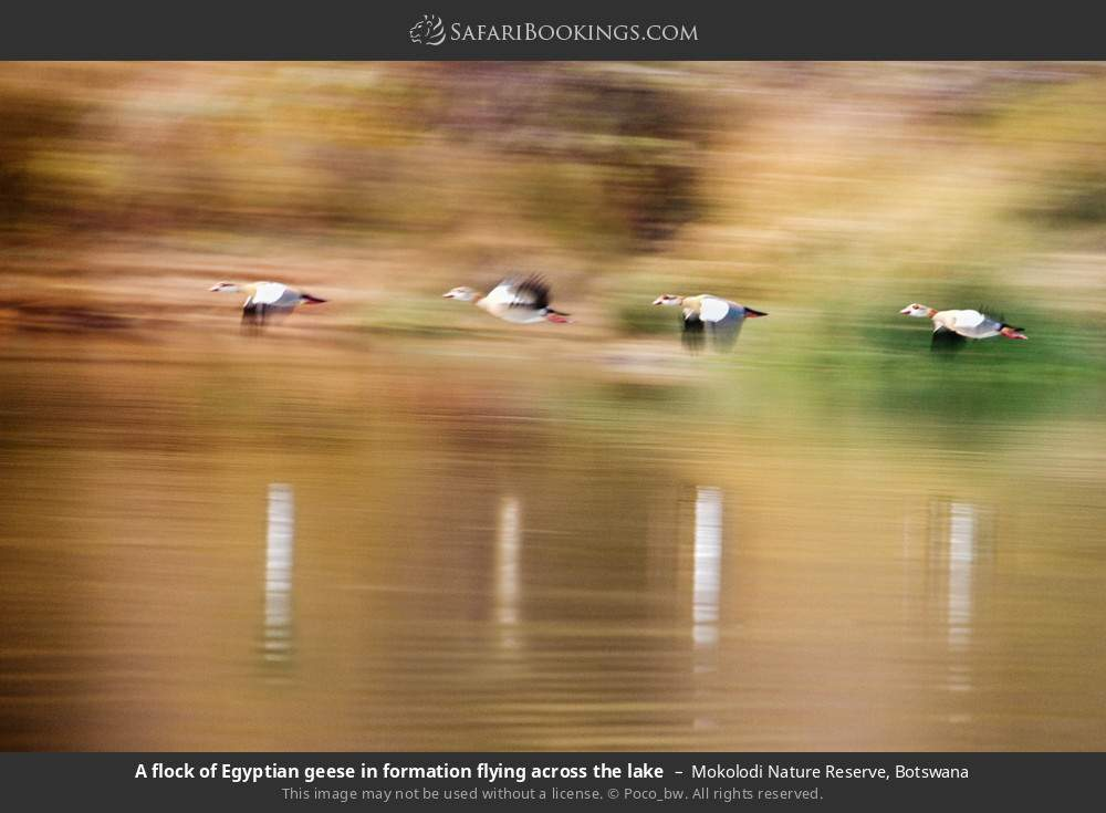 A flock of Egyptian geese in formation flying across the lake in Mokolodi Nature Reserve, Botswana