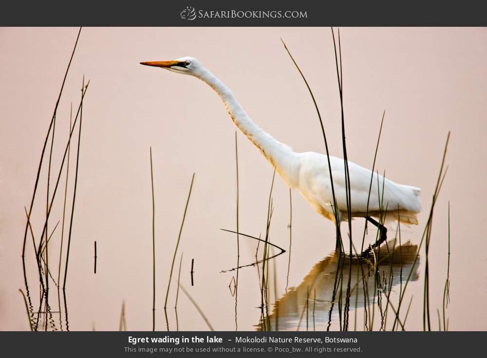 Egret wading in the lake in Mokolodi Nature Reserve, Botswana