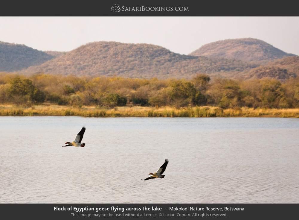 Flock of Egyptian geese flying across the lake in Mokolodi Nature Reserve, Botswana