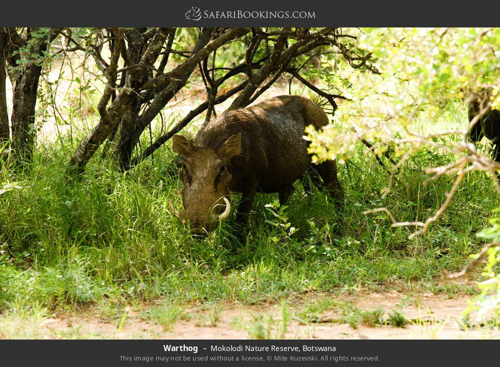 Warthog in Mokolodi Nature Reserve, Botswana