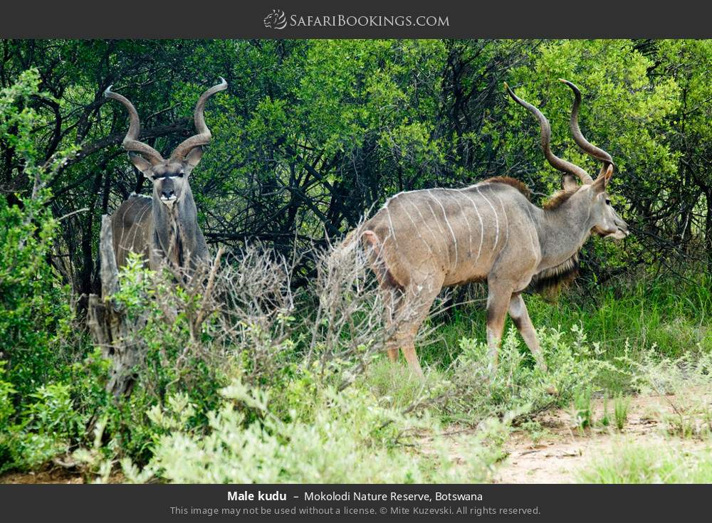 Male kudu in Mokolodi Nature Reserve, Botswana