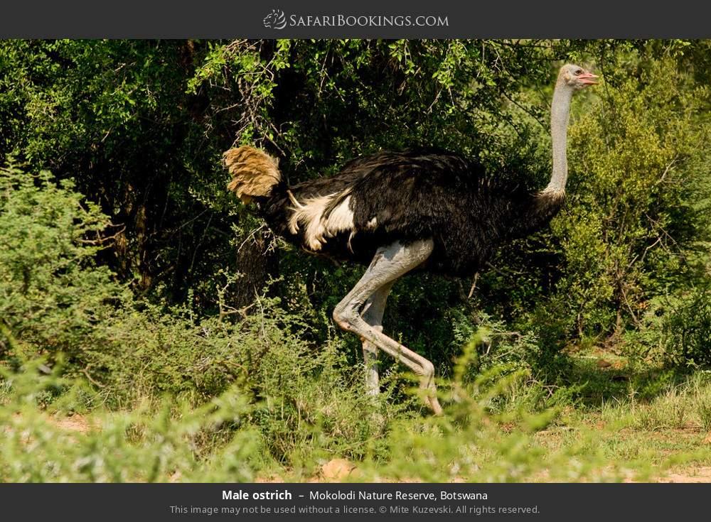 Male ostrich in Mokolodi Nature Reserve, Botswana