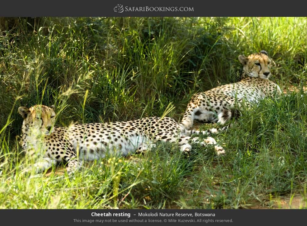Cheetah resting in Mokolodi Nature Reserve, Botswana