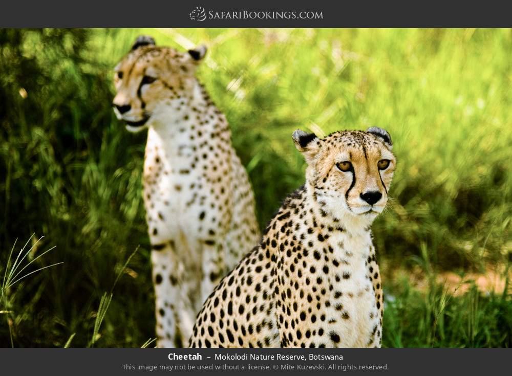 Cheetah in Mokolodi Nature Reserve, Botswana