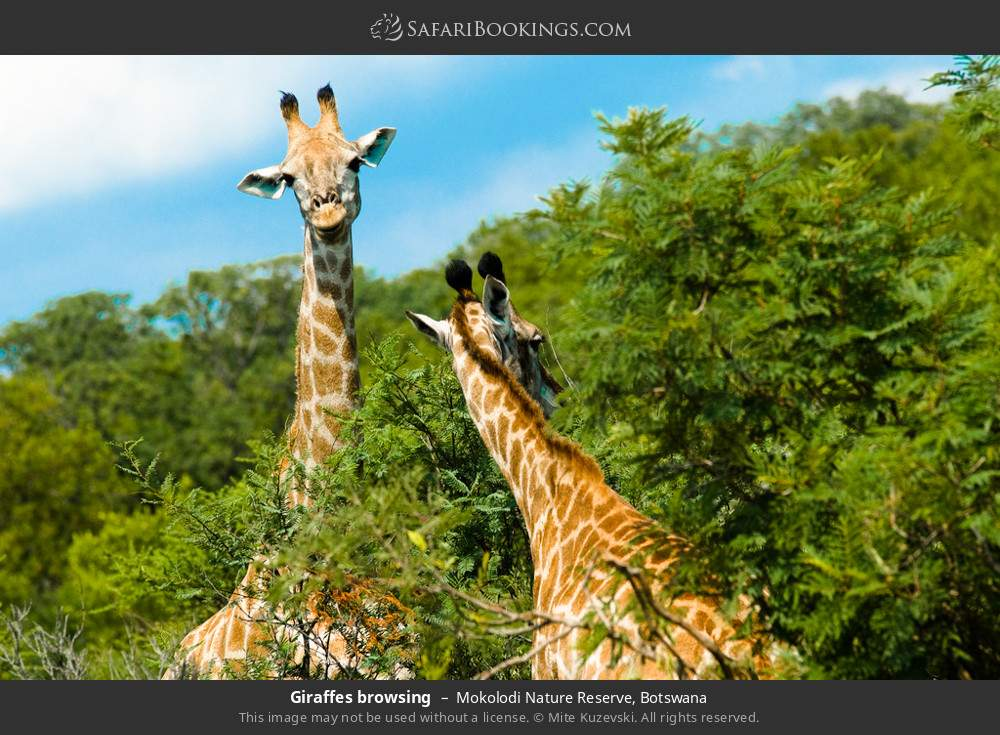 Giraffes browsing in Mokolodi Nature Reserve, Botswana