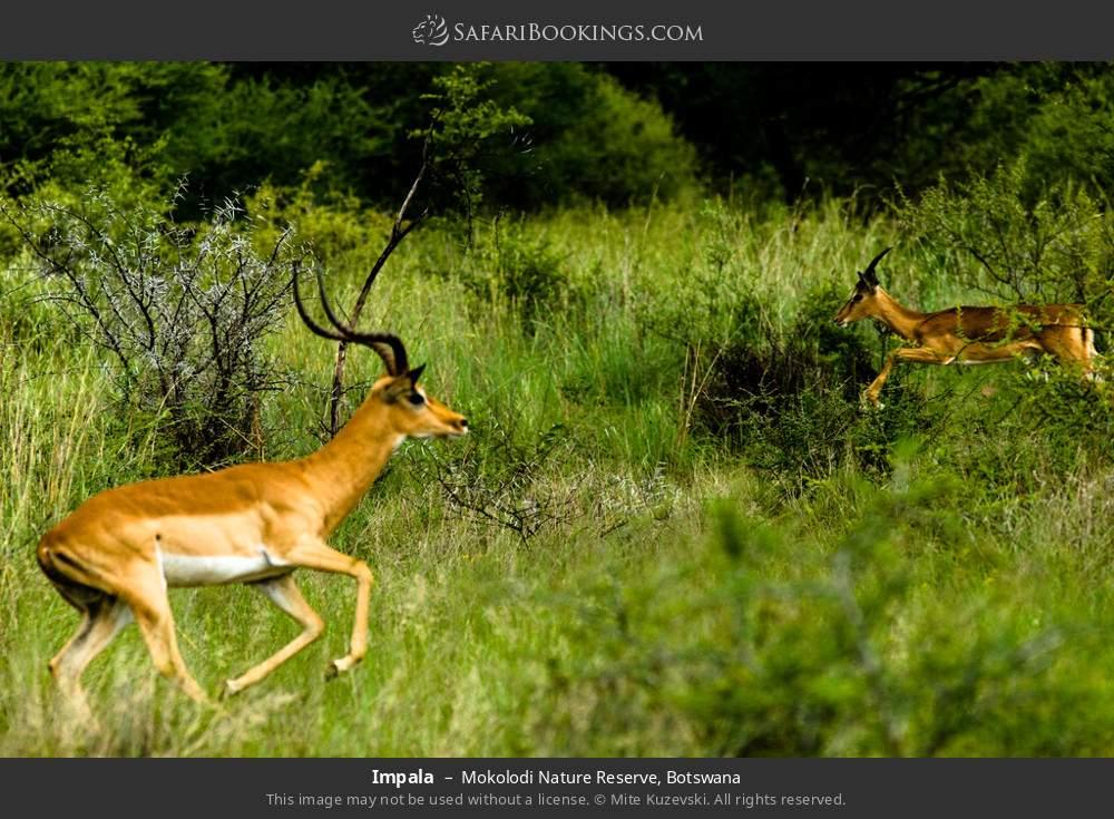 Impala in Mokolodi Nature Reserve, Botswana