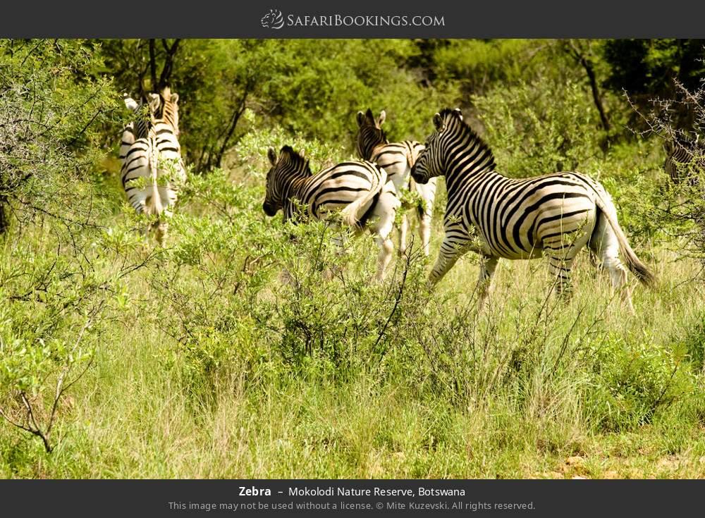 Zebra in Mokolodi Nature Reserve, Botswana
