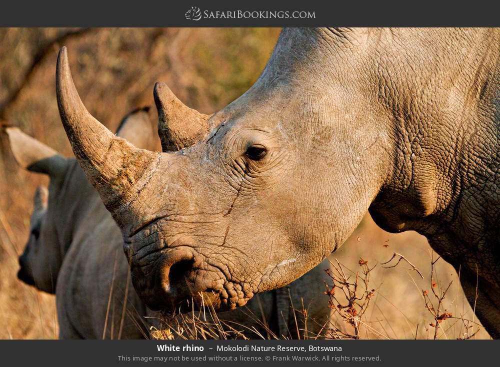 White rhino in Mokolodi Nature Reserve, Botswana