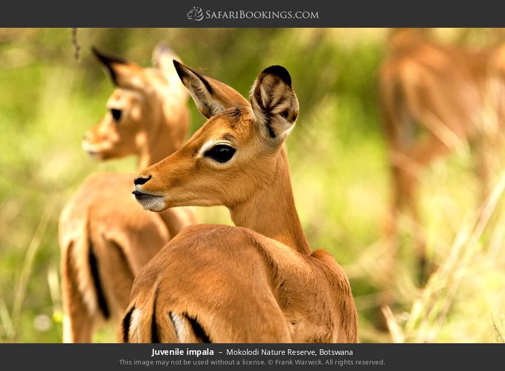 Juvenile impala in Mokolodi Nature Reserve, Botswana