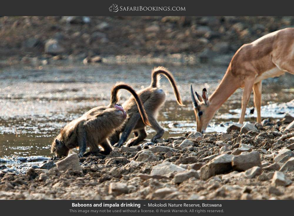 Baboons and impala drinking in Mokolodi Nature Reserve, Botswana