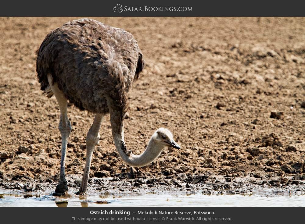 Ostrich drinking in Mokolodi Nature Reserve, Botswana