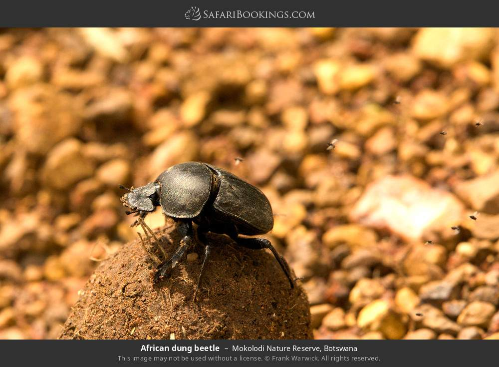 African dung beetle in Mokolodi Nature Reserve, Botswana