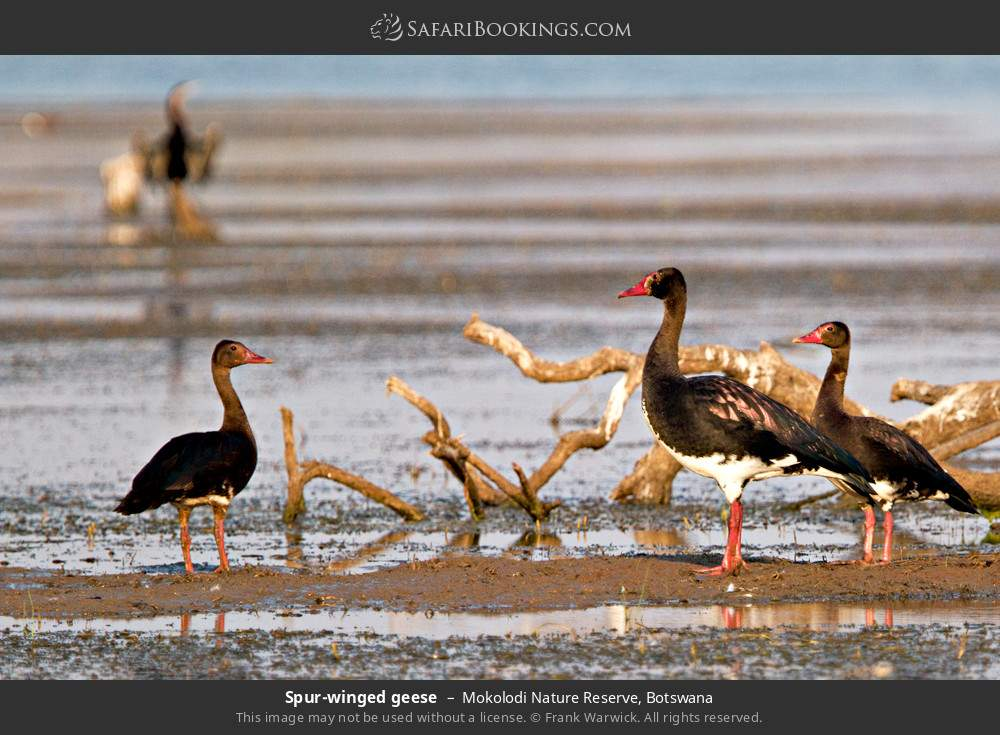 Spur-winged geese in Mokolodi Nature Reserve, Botswana