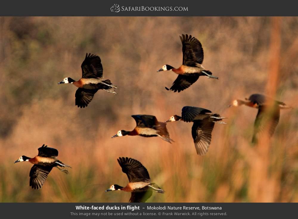White-faced ducks in flight in Mokolodi Nature Reserve, Botswana