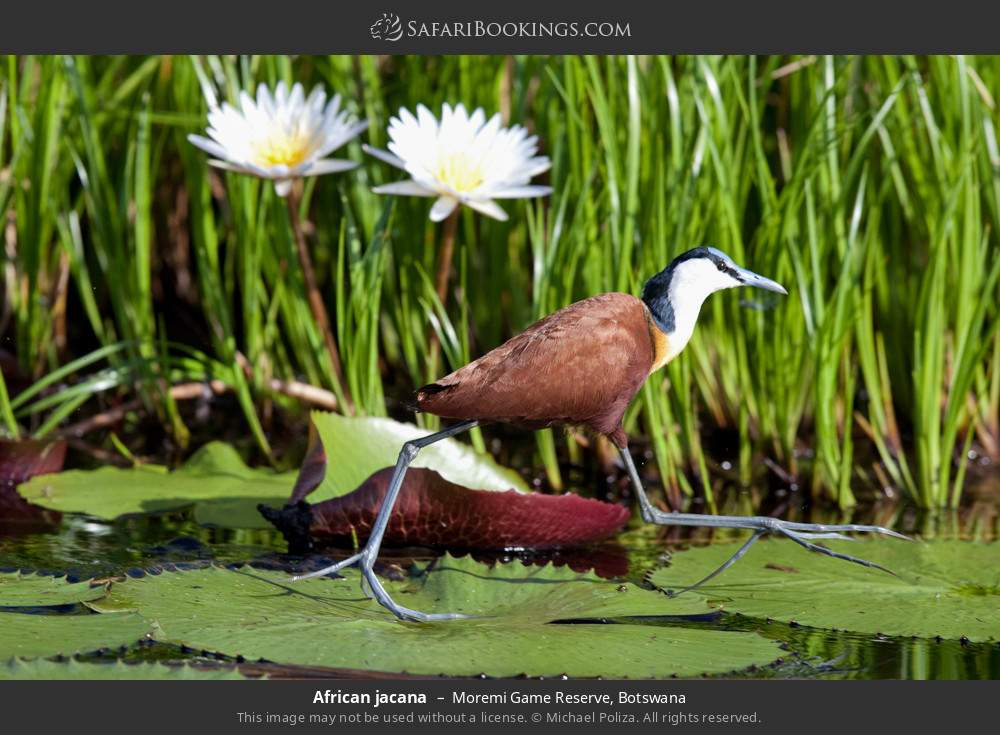 African jacana in Moremi Game Reserve, Botswana