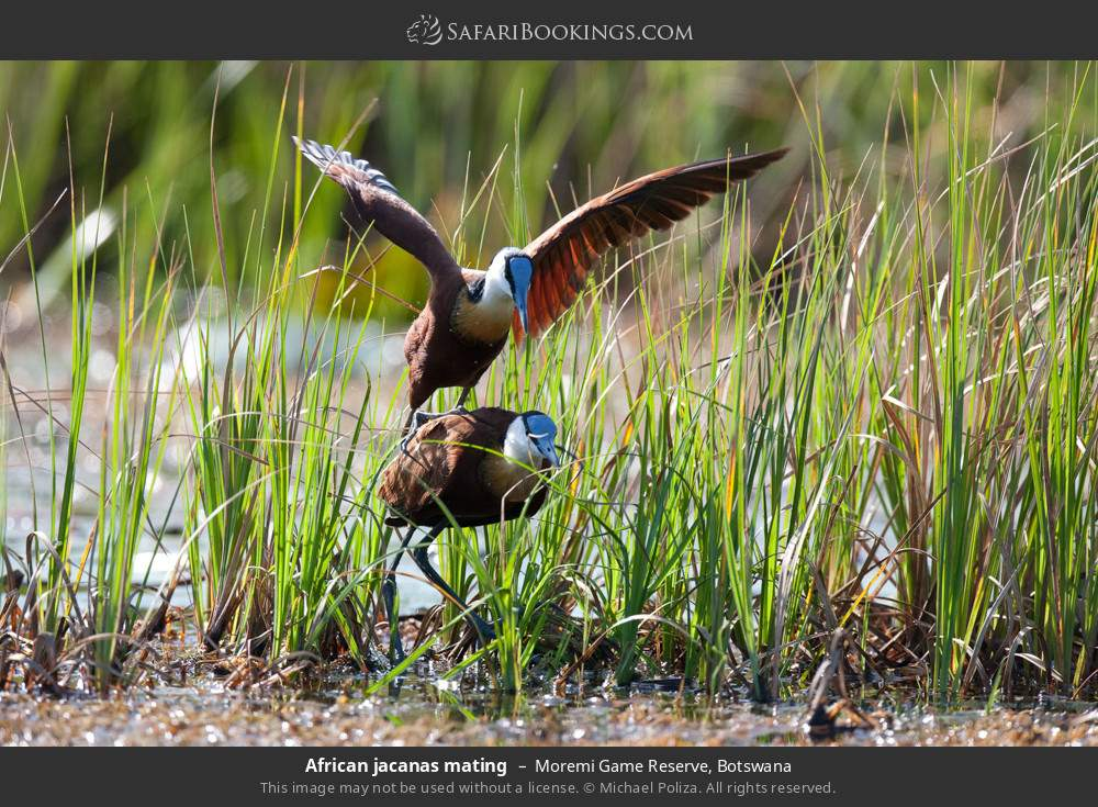 African jacanas mating in Moremi Game Reserve, Botswana